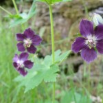 flore de moyenne montagne