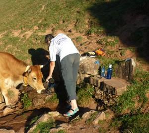 Une vache assoifée au refuge de Terenosa