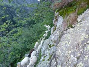 Descente des troupeaux dans les Gorges de Clarabide (2)