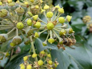 L'abeille et le lierre