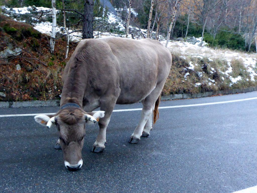 vache salée